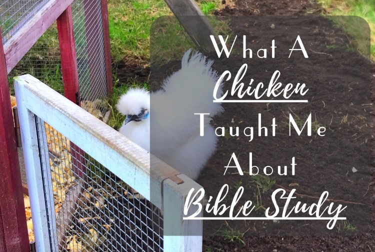 What A Chicken Taught Me About Bible Study! You can learn from anyone, even a silkie chicken! Read my blog post on what my chicken, Audrey, taught me about digging deeper.